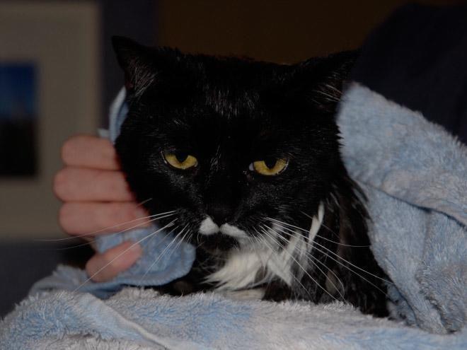 Кошки после водных процедур (15)