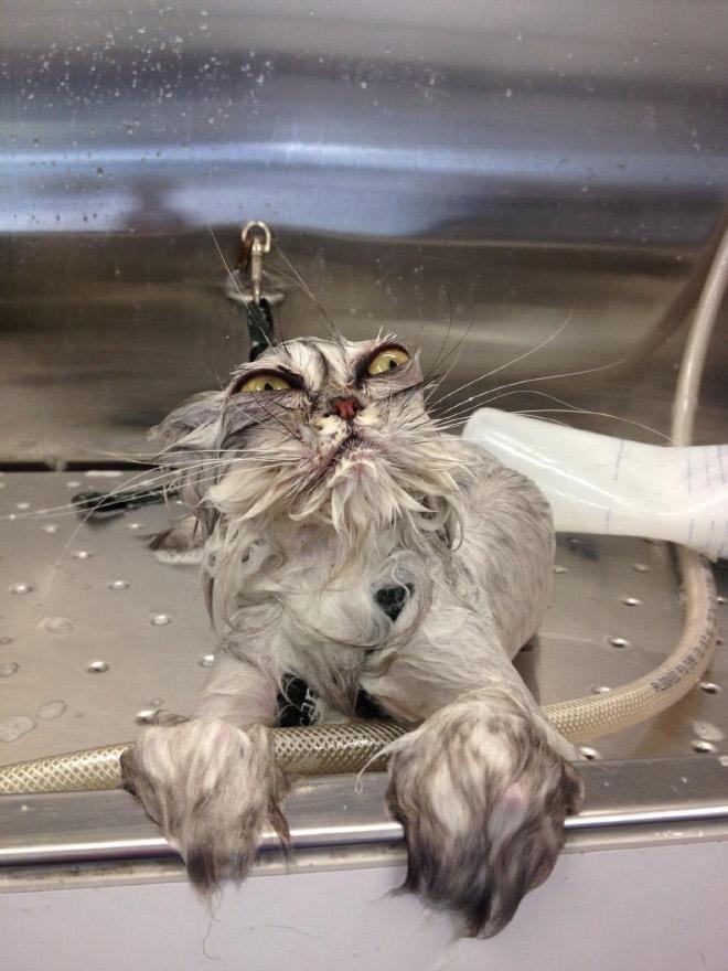 Кошки после водных процедур (19)