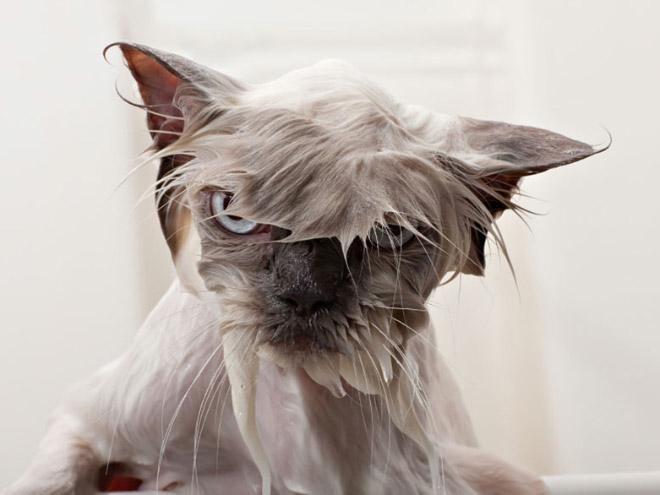 Кошки после водных процедур (2)