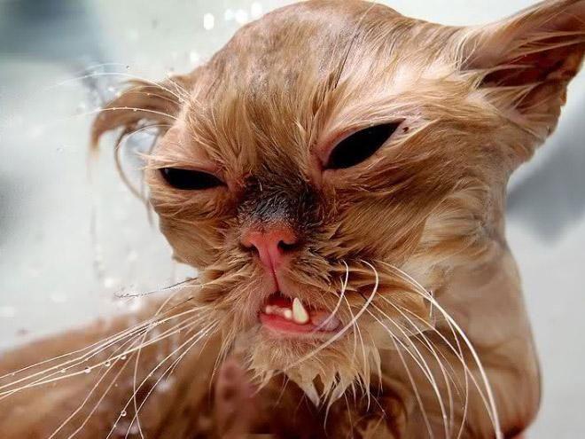 Кошки после водных процедур (3)
