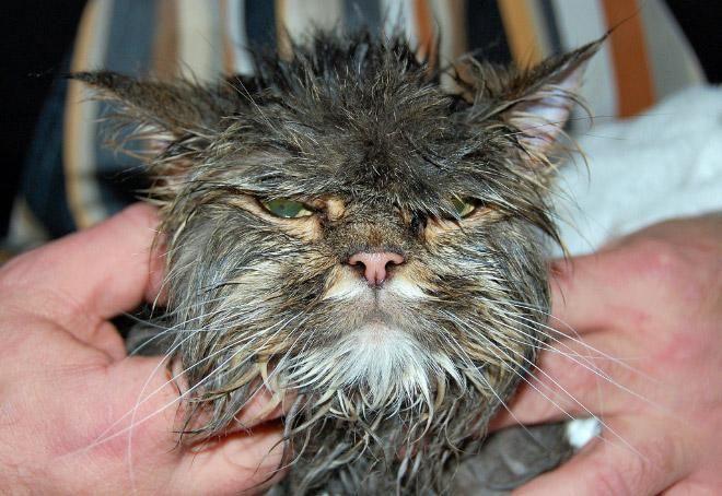 Кошки после водных процедур (14)