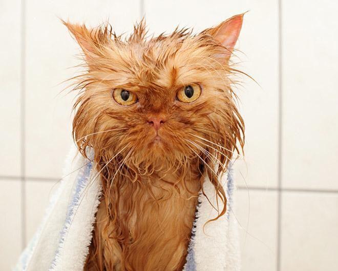 Кошки после водных процедур (16)