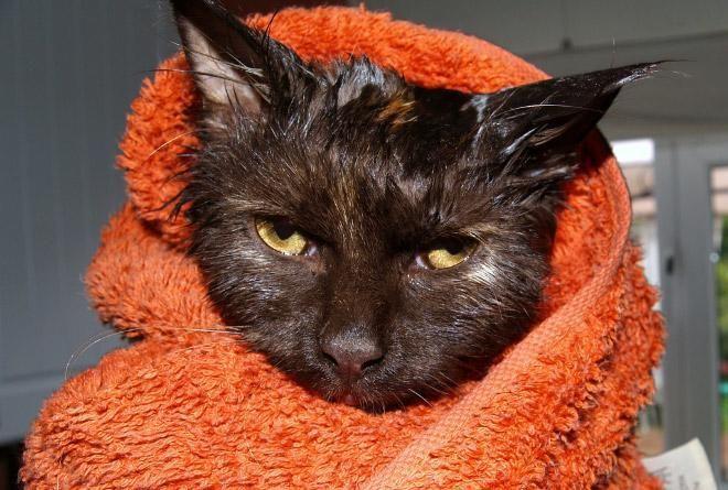 Кошки после водных процедур (4)