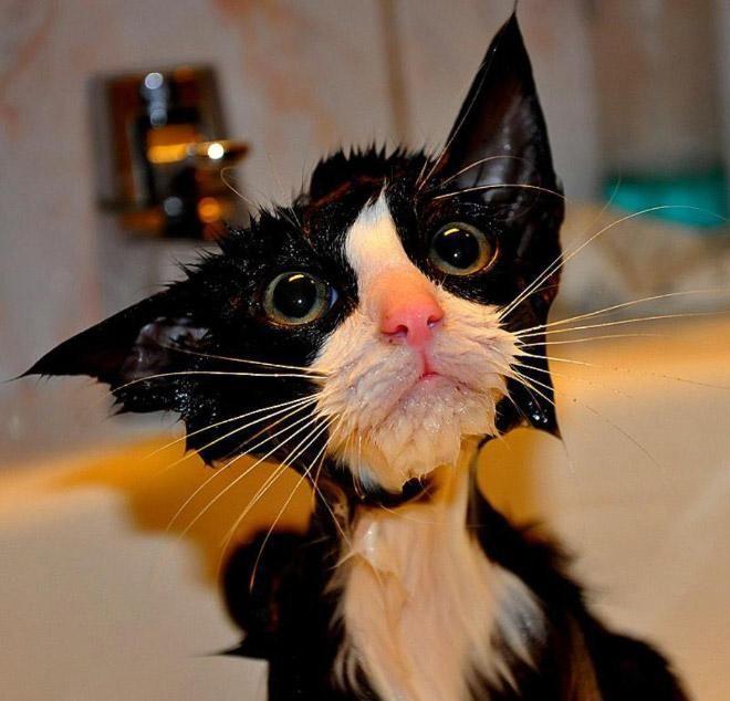 Кошки после водных процедур (8)