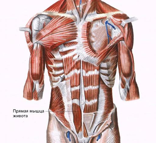 косая мышца живота